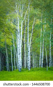 Green aspens in the Wasatch Mountains, Utah, USA.