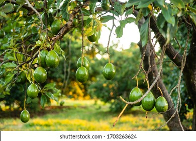 Green avocado on the mature tree. Brazilian production of Avocados. The avocado, belonging to the Lauraceae family, is an arboreal fruit