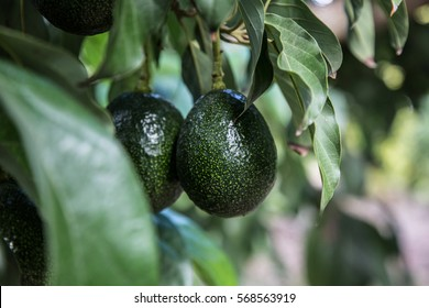 Green avocado on tree, organic food.