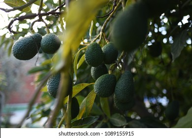 green avocados growing on tree on an eco farm