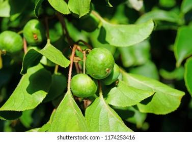Green baby kiwi fruit actinidia arguta growing on the vine