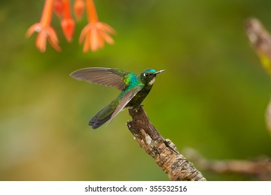 Green back with white throat female Tourmaline Sunangel Heliangelus exortis hummingbird perched on mossy twig under orange flowers, blurred green background. female, Colombian forest. Side view.
