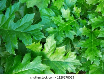 Green background with  Acanthus  leaves.