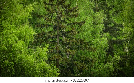 green background of birches and spruces