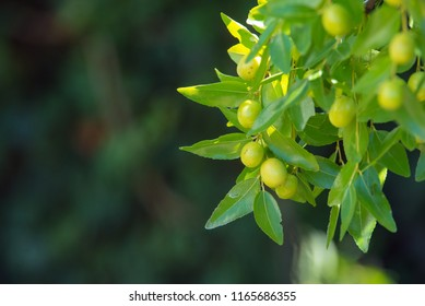 Green background of branches of jujube (jujube real, Chinese date, capiinit, jojoba, lat. In the process jujuba). It's summer.