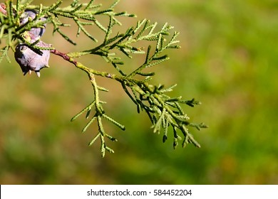 Green background. Cypress branch with cones. Evergreen trees.