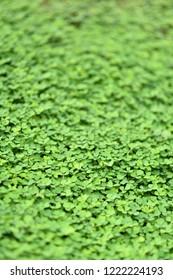 A green background of Evolvulus Nummularius or Agracejo Rastrero (Roundleaf Bindweed) in the modern park landscape.