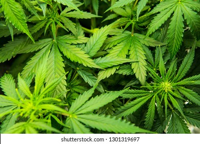 Green background of leaves. In door grow hemp. Cannabis at the beginning of flowering. Young cannabis plant. Northern light strain. Legal Marijuana cultivation in the home. Medicinal indica with CBD.