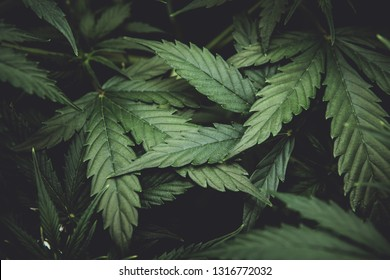Green background of leaves. Young cannabis plant. Cannabis at the beginning of flowering. Northern light strain. Medicinal indica with CBD. In door grow hemp. Legal Marijuana cultivation in the home.