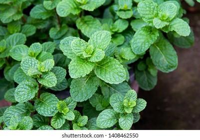 Mint Plant Images, Stock Photos & Vectors | Shutterstock
