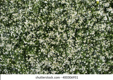 green background with small white flowers, Gerdenia Crape Jasmine with green leaves wall background and textured. Can used it for template or beautiful background on website