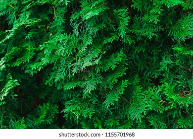 Green background texture of evergreen tree