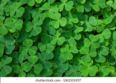Green background with three-leaved shamrocks. St. Patrick's day holiday symbol.   Selective focus.