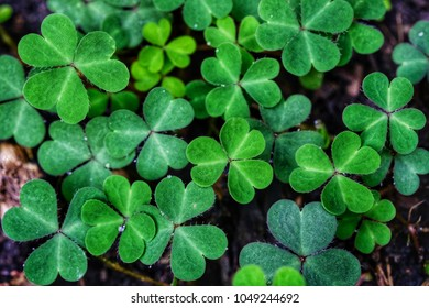 Green background with three-leaved shamrocks. St. Patrick's day holiday symbol. growing
