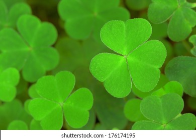 green  background with three-leaved shamrocks. St.Patrick's day holiday symbol. Shallow depth of field, focus on near leaf.