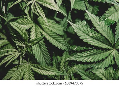 Green background. Weed medicine leaf. Cannabis cultivation. Nature herb pot. Cannabis plant . Grow indica flowering. Marijuana cultivation.