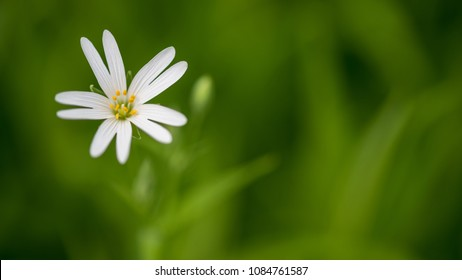 Green background with white chickweed bloom. Stellaria graminea. Lovely close-up of flowering wild herb with petals a yellow stamens with pollen in green grass. Selective focus.