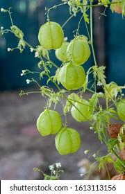 Green balloon of Cardiospermum halicacabum vine. It belongs to the soapberry family, Sapindaceae.