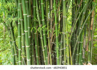 Green bamboo forest.