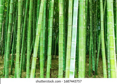 A green bamboo forest in the park