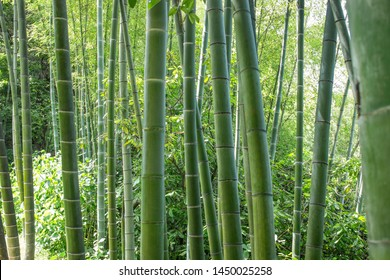 green bamboo forest in summer sunny day
