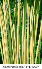 green bamboo growing in nature in panama
