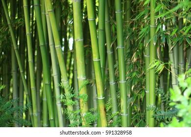 Green bamboo jungle