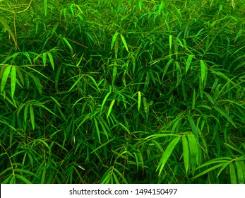 Green bamboo leaf background in summer