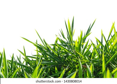 green bamboo leaf , green tropical foliage texture isolated on white background of file with Clipping Path .