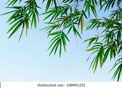 Green bamboo leaves are growing with clear blue sky background, low angle view with copy space