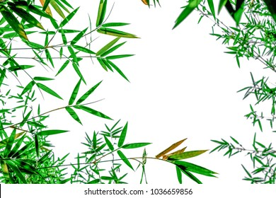 Green bamboo leaves  isolated on white background. The branches of bamboo from the bottom view. Asians grow this plants for use many ways food ingredients and decoration of the place to look natural.