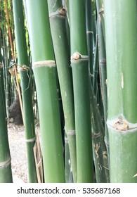 Green bamboo stems close up.