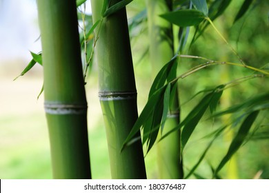 green bamboo trunks and Leaves, may use as background