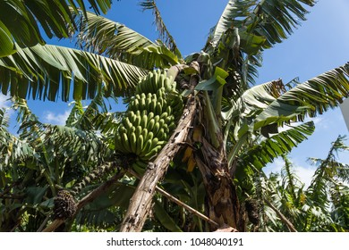 Green banan trees with bunch of fresh fruits, close up