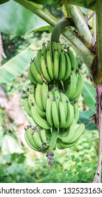 Green Banana Bunch Hanging on Tropical Tree - Luzon, Philippines