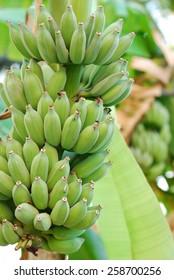 green banana fruit in forest