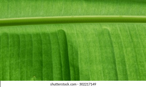 Green banana leaf abstract background