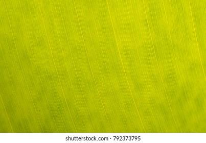 Green banana leaf background backlit texture macro detail