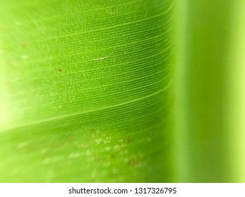 Green banana leaf background with copy space selective focus, closeup.