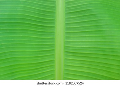 Green banana leaf background use for your design, card, wallpaper, postcard or nature concept. Leaf is the main organs of photosynthesis and transpiration.