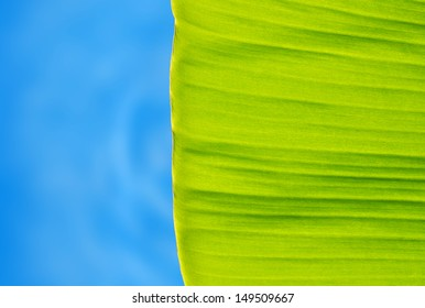 green banana leaf with blue background