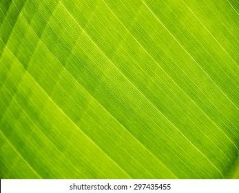 green banana leaf close up