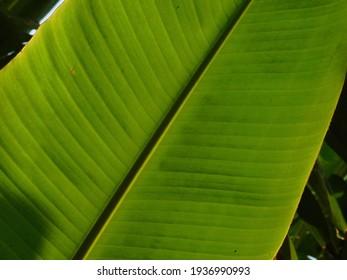 green banana leaf my filed