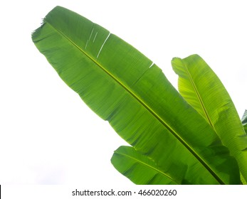 Green banana leaf on white background