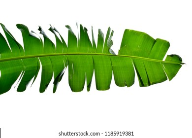 Green banana leaf pattern isolated on white background use for your design, card, wallpaper, postcard or nature concept. Leaf is the main organs of photosynthesis and transpiration.