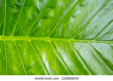 green banana leaf vertical stripes tropical design asia background base