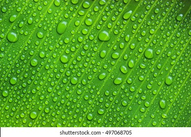 Green banana leaf with water drop.