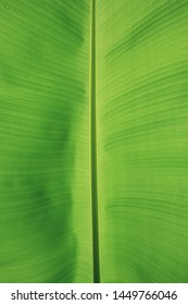 Green banana leaves as background