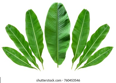 Green Banana leaves isolated