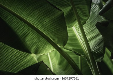 Green banana leaves in nature,color toned.